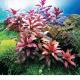 Wygląd i kolor - Podział roślin z uwagi na wygląd, kolor, ształt liści i przeznaczenie w akwarium. Wybierz podkategorię:
