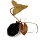 Bulwy i cebule - Bulwa to forma rośliny z kilkoma liśćmi, z której wyrastają kolejne pięknie wybarwione liście podwodne.