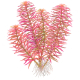 Rośliny czerwone - Czerwone rośliny to najlepszy sposób wyróżnienia swojego akwarium.Oferujemy kilkadziesiąt gatunków i odmian o różnym odcieniu czerwieni.