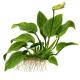 Rośliny kłączowe - Rośliny posiadające kłącza, z których wyrastają nowe liście.Nie zakopujemy ich w podłożu lecz mocujemy do powierzchni kamieni i korzeni.