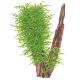 Na korzenie i kamienie - Rośliny do zaszczepienia na korzeniach i kamieniach.Stwarzają nieograniczone możliwości kompozycyjne w aranżacji akwarium.Jeśli szukasz gotowych zestawów z roślinami zaszczepionymi na korzeniu lub lawie kliknij gotowe dekoracje