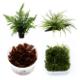Rodzaj opakowania - Rośliny akwariowe dostępne w różnych formach:  rośliny w koszyczkach to formy dojrzałe o większych rozmiarach od in-vitro łatwo adoptujące się do warunków w akwarium rośliny mateczne (w koszyczkach XL) to olbrzymie egzemplarze do podzielenia na mniejsze części. Zwykle uż...