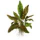 Rośliny rozetowe - Gatunki żabienic (Echinodorus) i kryptokoryn (Cryptocoryne) o dużych rozetach liściowych i wielu barwnych odmianach.
