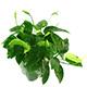 Rośliny w koszyczkach (XL) - Rośliny przeznaczone do rozrodu i namnażania roślin. Przeznaczone dla hodowców i plantatorów lub do dużych akwariów powyżej 300 litrów.