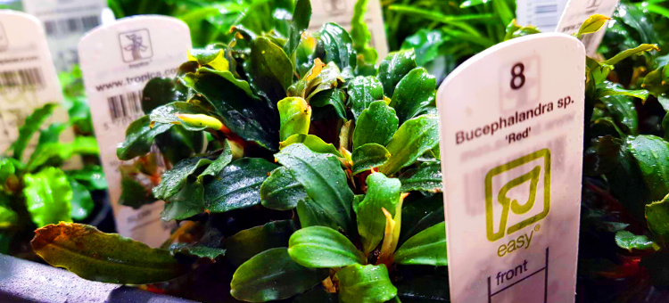 Bucephalandra red