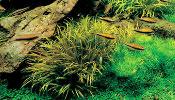 Opisy roślin akwariowych