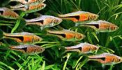 Opisy ryb akwariowych, krewetek i ślimaków