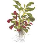 .Lobelia cardinalis - TROPICA (opakowanie mini)