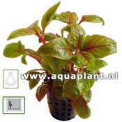 Alternanthera Bettzickiana red - RA koszyk XXL