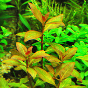 Alternanthera colorata (koszyk)