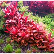 Alternanthera colorata RED - PLANTACJA (koszyk)