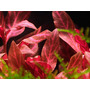 Alternanthera reinecki rosanervig - in-vitro Aqua-Art