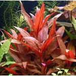 Alternanthera reineckii (in-vitro) puszka 10cm XXL