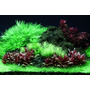 Alternanthera reineckii Mini - in-vitro Aqua-Art
