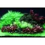 Alternanthera reineckii Mini TROPICA in-vitro (w żelu)