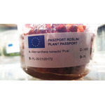 Alternanthera reineckii Pink (in-vitro) puszka 10cm XXL