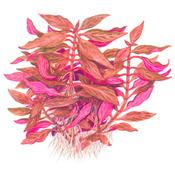 Alternanthera reineckii Rosanervig - TROPICA (koszyk)