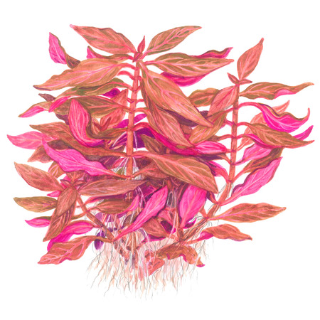 Alternanthera reineckii Rosanervig TROPICA (koszyk)