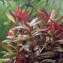 Alternanthera rosaefolia (in-vitro) puszka 5cm