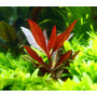 Alternanthera rosaefolia - in-vitro Aqua-Art