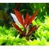 Alternanthera rosaefolia - RA koszyk XXL