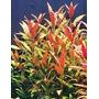 Alternanthera Rosaefolia - RATAJ (koszyk)
