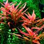 Ammania gracilis (in-vitro) puszka 10cm XXL