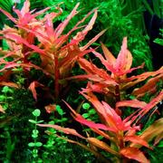 Ammania gracilis (koszyk).
