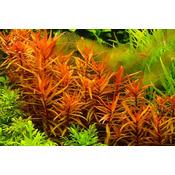 Ammania gracilis - in-vitro Aqua-Art