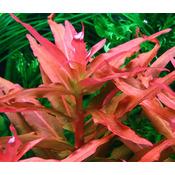 Ammania gracilis - RA koszyk XXL