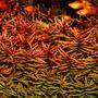 Ammania gracilis - sadzonka