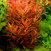 Ammania senegalensis - in-vitro Aqua-Art