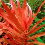 Ammania senegalensis - RA koszyk XXL