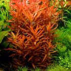Ammania senegalensis - RATAJ (koszyk)