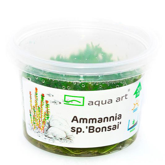 Ammania sp. Bonsai - in-vitro Aqua-Art