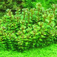 Ammania sp. Bonsai - in-vitro Aqua-Art