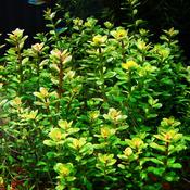 Ammania sp. bonsai - RA koszyk XXL
