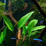 Anubias angustifolia (koszyk).