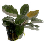 Anubias barteri Coffeefolia - RA koszyk XXL