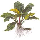 Anubias barteri Coffeefolia TROPICA (koszyk)