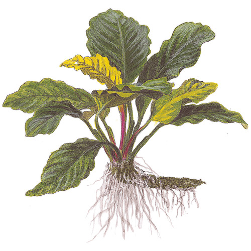 Anubias barteri Coffeefolia - TROPICA (koszyk)