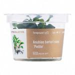 Anubias barteri nana 'Petite' - in-vitro Aqua-Art - EDYCJA LIMITOWANA