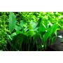 Anubias barteri var. angustifolia TROPICA (koszyk)