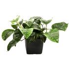 Anubias barteri var. caladiifolia - matecznik TROPICA (koszyk XL)