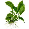 Anubias barteri var. caladiifolia TROPICA (koszyk)