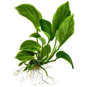Anubias barteri var. caladiifolia TROPICA (PCS)