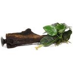 Anubias barteri var. nana na korzeniu (z przyssawką) - TROPICA