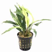 Anubias glabra white - PLANTACJA (koszyk)
