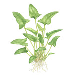 Anubias gracilis TROPICA (koszyk)