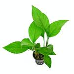 Anubias heterophylla - RA koszyk XXL